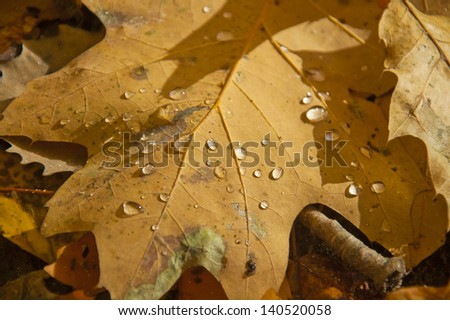 Autumn leaf and water droplets in bright sunshine