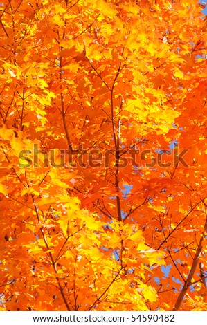 Autumn leaf background. Sugar maple tree leaves back lit by sunlight