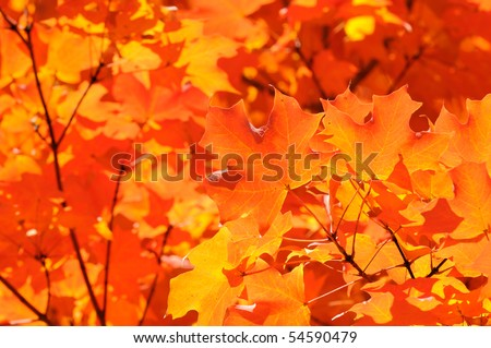 Autumn leaf background. Vivid orange, red and yellow colors of sugar maple tree leaves back lit by sunlight
