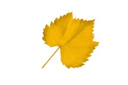 Autumn leaf of grapes isolated on white background. Clipart. Design element