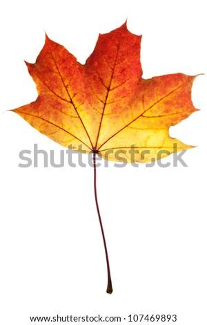 Autumn leaf of maple isolated on white.