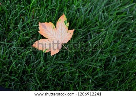 Autumn leaf on green grass Imagine de stoc ©