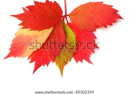 autumn leaf on white background