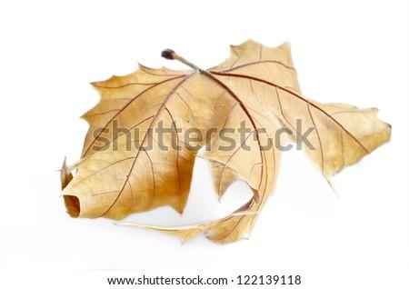 Autumn leaf, selective focus. Autumn maple leaf isolated on white background
