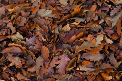 Autumn leaf texture. Autumn folic manycoloured texture. Winter leaf texture. Winter folic texture. Fall leaves background. Fall leaves wallpaper. Leaves on the ground background image.