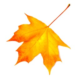 Autumn leaf. Yellow Autumn maple leaf isolated on a white background, close up.