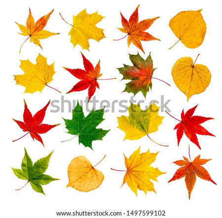 Autumn leafs collage with colorful maple and beech leafs isolated in front of white background
