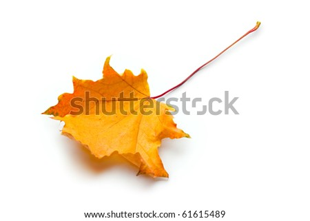Autumn leave isolated on the white background