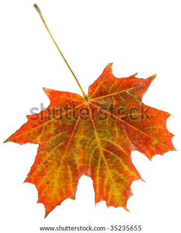 autumn leave maple isolated on white background