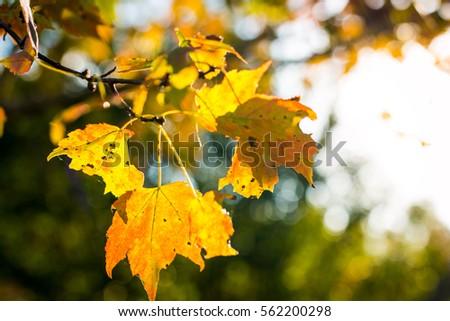 Autumn Leaves #562200298