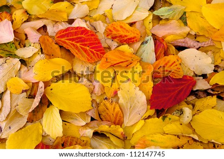 Autumn leaves. Abstract background. Colorful autumn leaves.