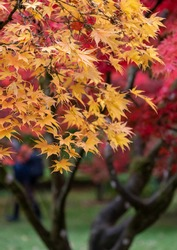 Autumn leaves. Acer and maple trees in a blaze of colour, photographed at Westonbirt Arboretum, Gloucestershire, UK in the month of October.