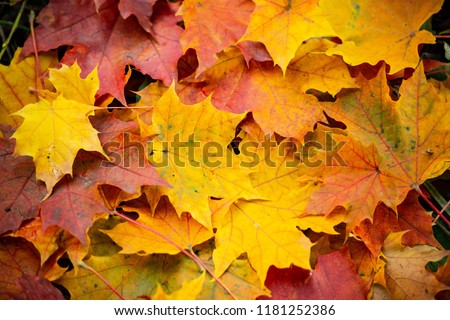 Autumn leaves are hollow red. The leaves lie on the ground, a heap of leaves.