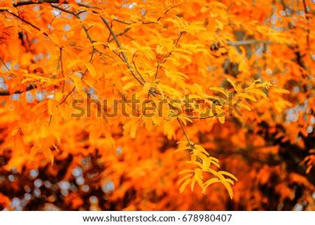 Stock Photo Autumn leaves are orange.