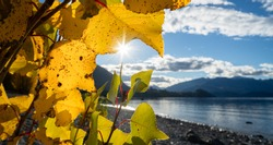 Autumn leaves back-lit by the afternoon sun on the shore of Lake Wanaka, South Island