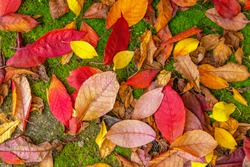Autumn leaves. Colored, bright background of yellow and red leaves on green moss.