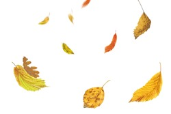 Autumn leaves falling and spinning. Autumn falling leaves isolated on white background. Falling autumn leaves