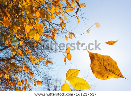 Autumn leaves falling down. Close-up photo with focus on leaf.
