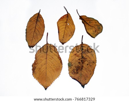 Autumn leaves falling on the wind and rolling on the floor. / Fallen leaves from trees. / Maple leaf back.  #766817329
