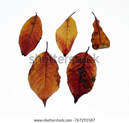 Autumn leaves falling on the wind and rolling on the floor. / Fallen leaves from trees. / Maple leaf face. #767291587