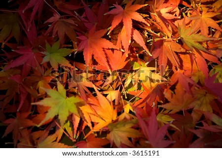 autumn leaves from Japanese maple tree