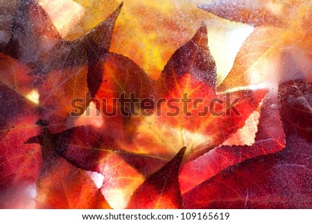 Autumn leaves frozen solid with light shining through from behind