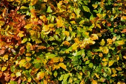 Autumn leaves hedgerow with color varying from green to golden brown.