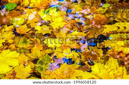 Autumn leaves in a puddle. Golden autumn maple leaves in puddle. Autumn leaves in puddle. Puddle leaves view