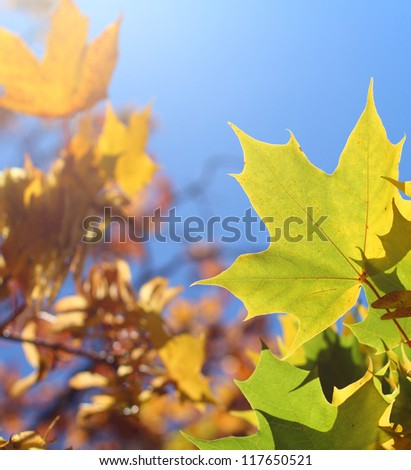 Autumn leaves in backlight, shallow focus