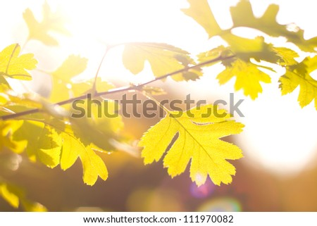 Autumn leaves in backlight, shallow focus, beautiful bokeh