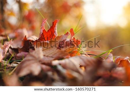 Autumn leaves in grass. Autumn theme.