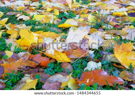 Autumn leaves in grass. Park in city. Maple, yellow foliage. Colorful foliage. Sunlight. #1484344655