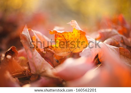 Autumn leaves in grass. Small depth of field. Autumn theme.