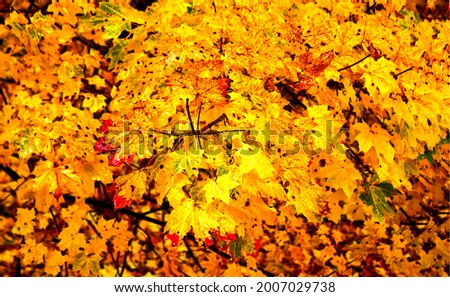 Autumn leaves in the light. Autumn maple leaves background. Autumn maple leaves