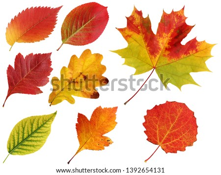 autumn leaves isolated on a white background. Elm and oak, hawthorn and black-fruited mountain ash, maple and aspen. #1392654131