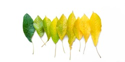 Autumn leaves isolated on white. Season, colorful leaves concept. Green, yellow, different colors, lie in order