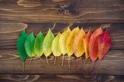 Autumn leaves laid out in a strip passes from green to red on a wooden background. The concept of changing the season.