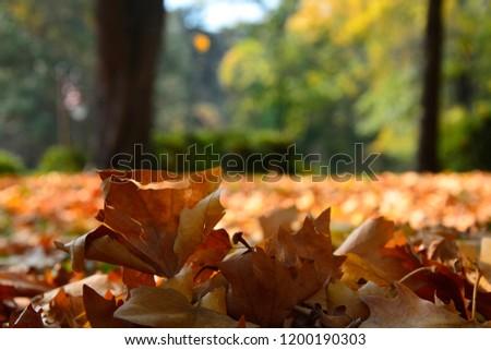 autumn leaves,leaves,color leaves,autumn,Leaves in the grass,autumn leaves in the grass,autumn leaves falling #1200190303