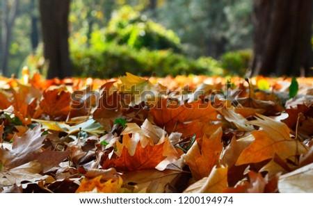 autumn leaves,leaves,color leaves,autumn,Leaves in the grass,autumn leaves in the grass,autumn leaves falling