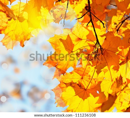 autumn leaves maple against the blue sky and sun - stock photo