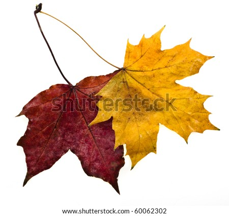 autumn leaves maple isolated on white background