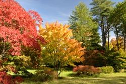 Autumn Leaves, Maple Trees at Westonbirt Arboretum, Gloucestershire, England, United Kingdom, Europe