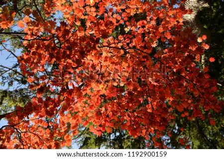 Autumn Leaves, Maple Trees, Gloucestershire, England, United Kingdom, Europe #1192900159