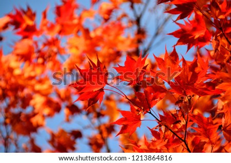Autumn leaves of a maple ストックフォト ©