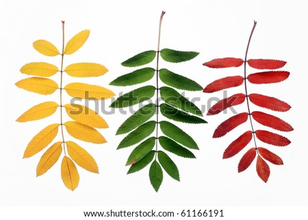 Autumn leaves of a mountain ash on a white background