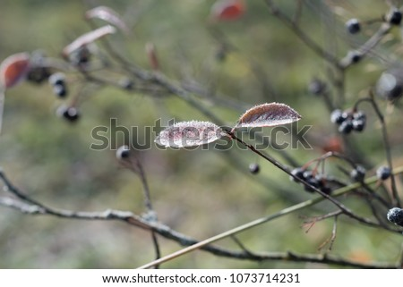 Autumn leaves of Black chokeberry. Autumn leaves give us unique bright colors and good mood. #1073714231