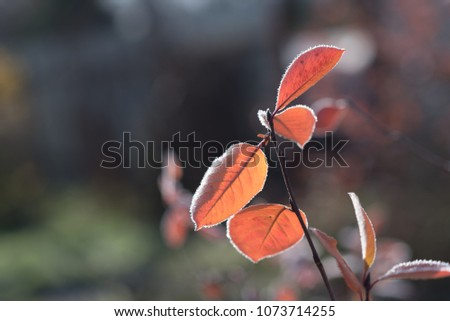 Autumn leaves of Black chokeberry. Autumn leaves give us unique bright colors and good mood. #1073714255