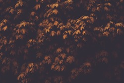 Autumn leaves of maple in the dark