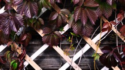 autumn leaves of wild grapes on wooden wall of country house
