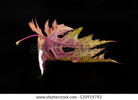 Shutterstock autumn leaves on a black background closeup